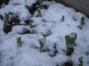 Snowy sugar-snap peas on Passover morning