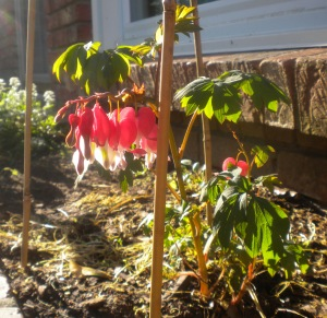 cropped bleeding heart