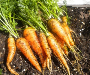 cropped carrots