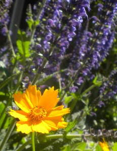 cropped coreopsis and salvia